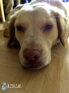 Dösender Hundekopf mit großer Ähnlichkeit zu Fuchor