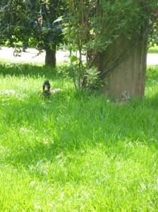 Auf ein Wort: Erpel im Gras mit Blickkontakt